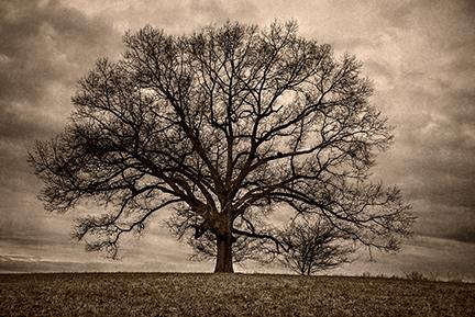 The Beaten Oak